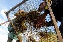 Petani memisahkan butir padi dari tangkainya saat panen perdana di Desa Dasok, Pamekasan, Jawa Timur, beberapa waktu lalu.